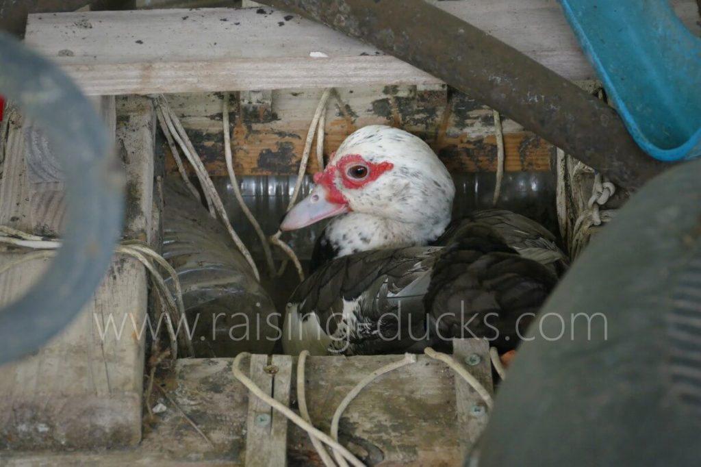 Muscovy duck who chose a hidden nest location