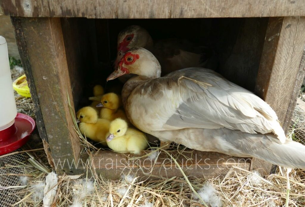 Nesting box with Muscovy ducklings and co-parenting mother ducks