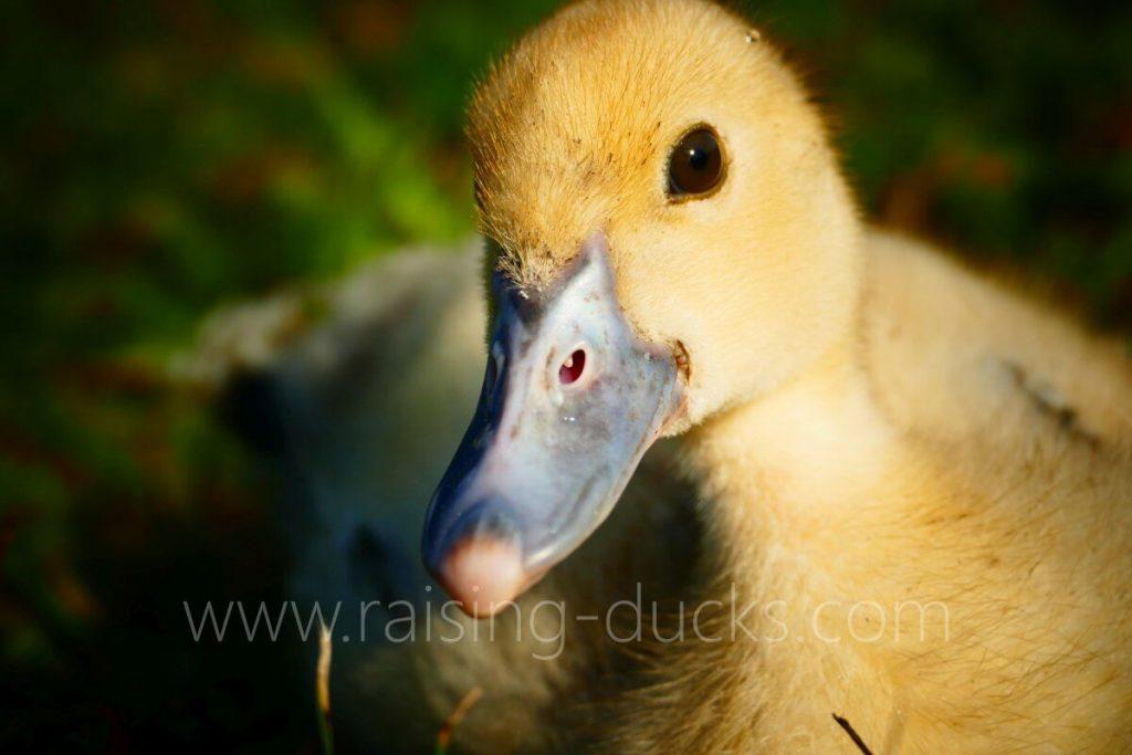 bill of female muscovy duck