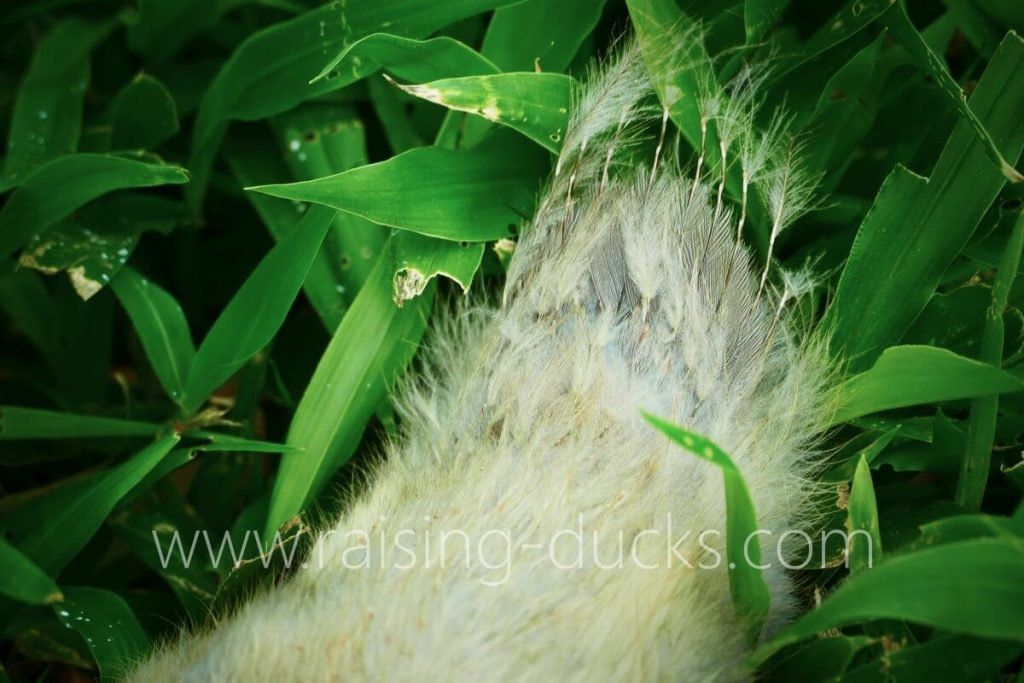 4-week-old male muscovy duckling tail feathers
