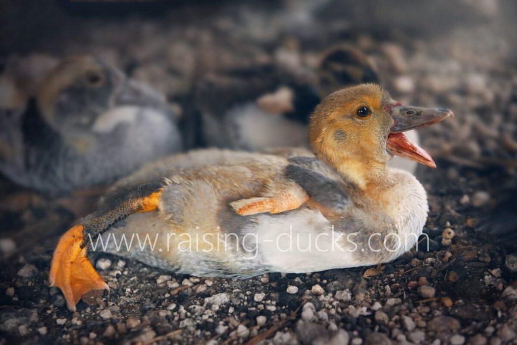 6-week old male muscovy duckling