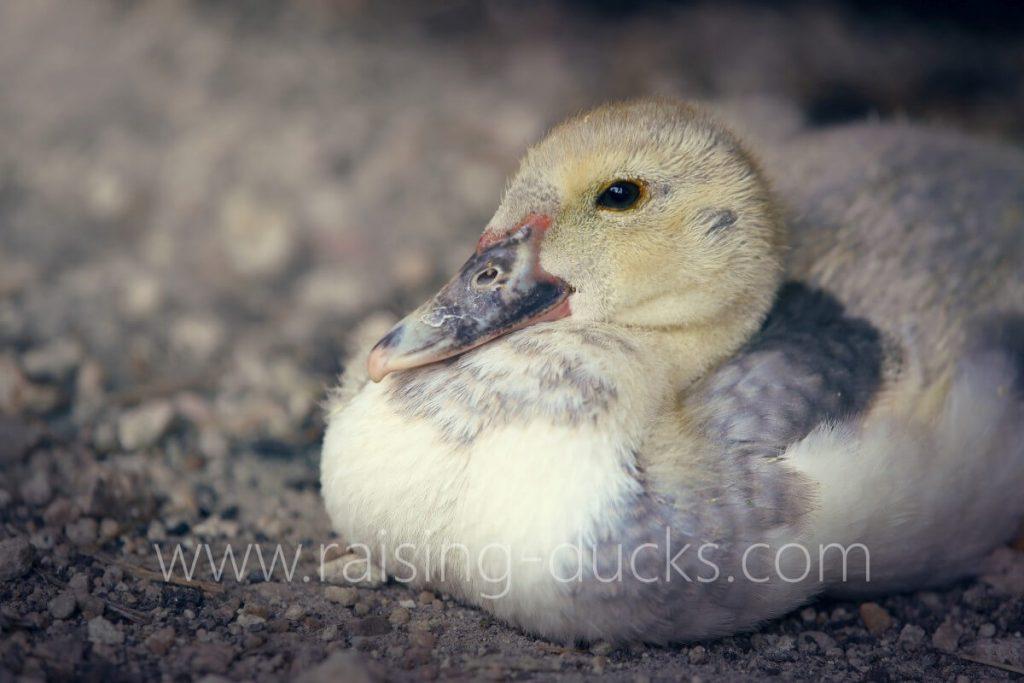 6-week-old male muscovy duckling