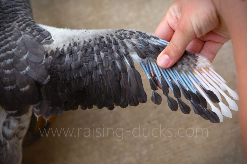 wing feather quills 8-week-old female muscovy duckling