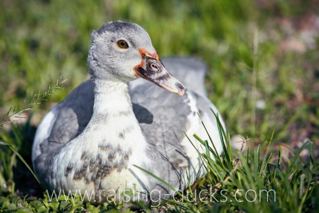 9-week-old male muscovy duck outside grass