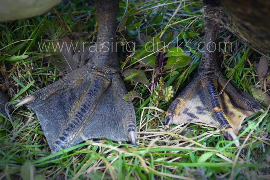 adult muscovy duck feet male vs female