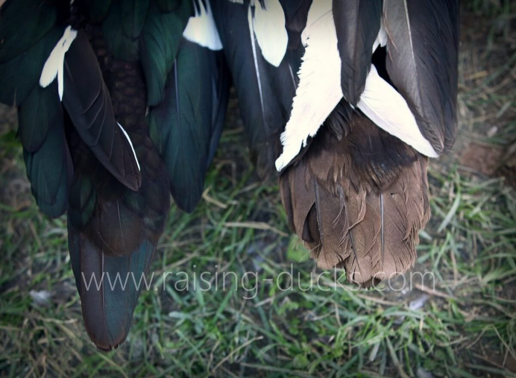 adult muscovy duck tails male vs female sexing