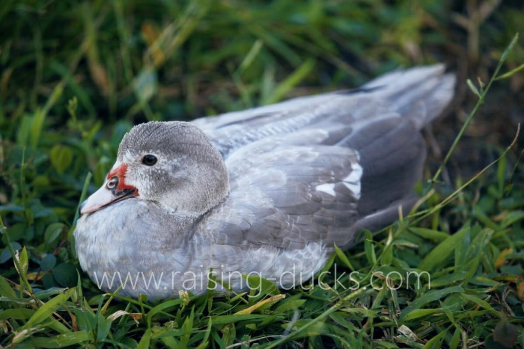 5-month-old juvenile silver barred female muscovy duck