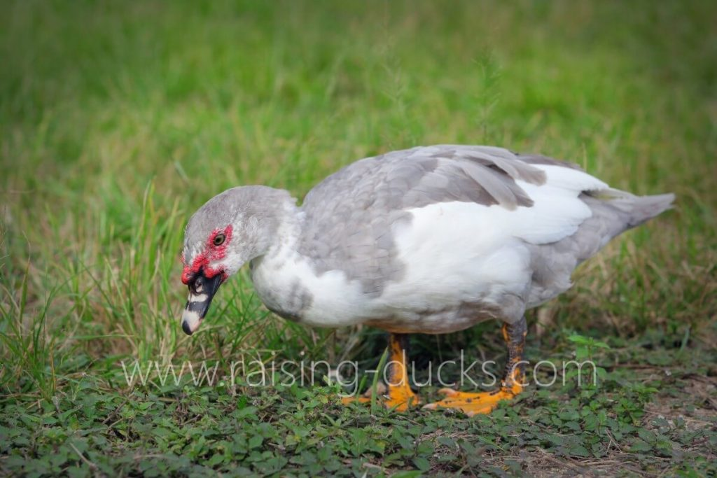 5-month-old muscovy drake
