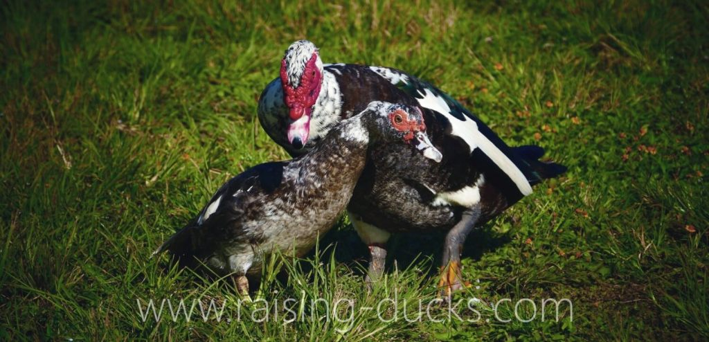 adult muscovy drake vs duck