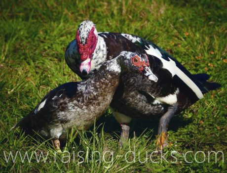 male and female muscovy ducks
