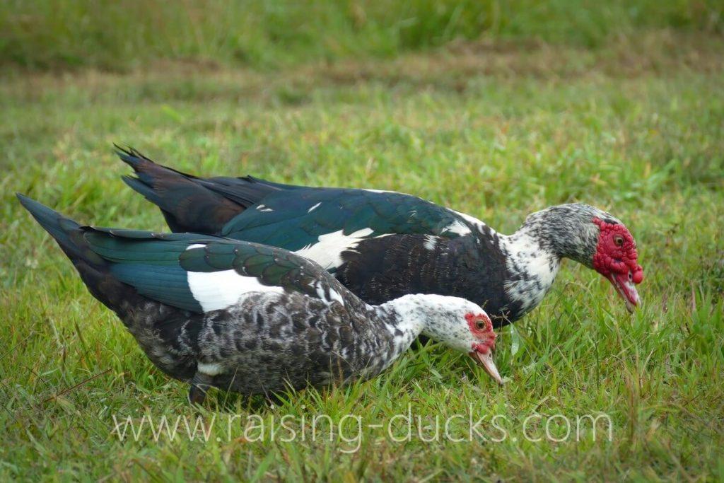 sexing muscovy ducks male vs female adults