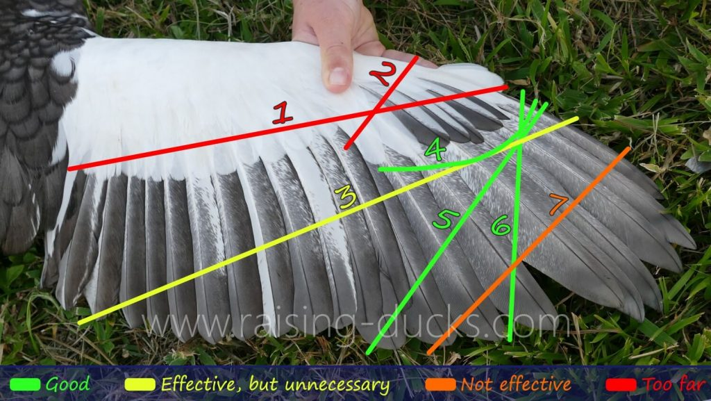 duck wing clipping diagram