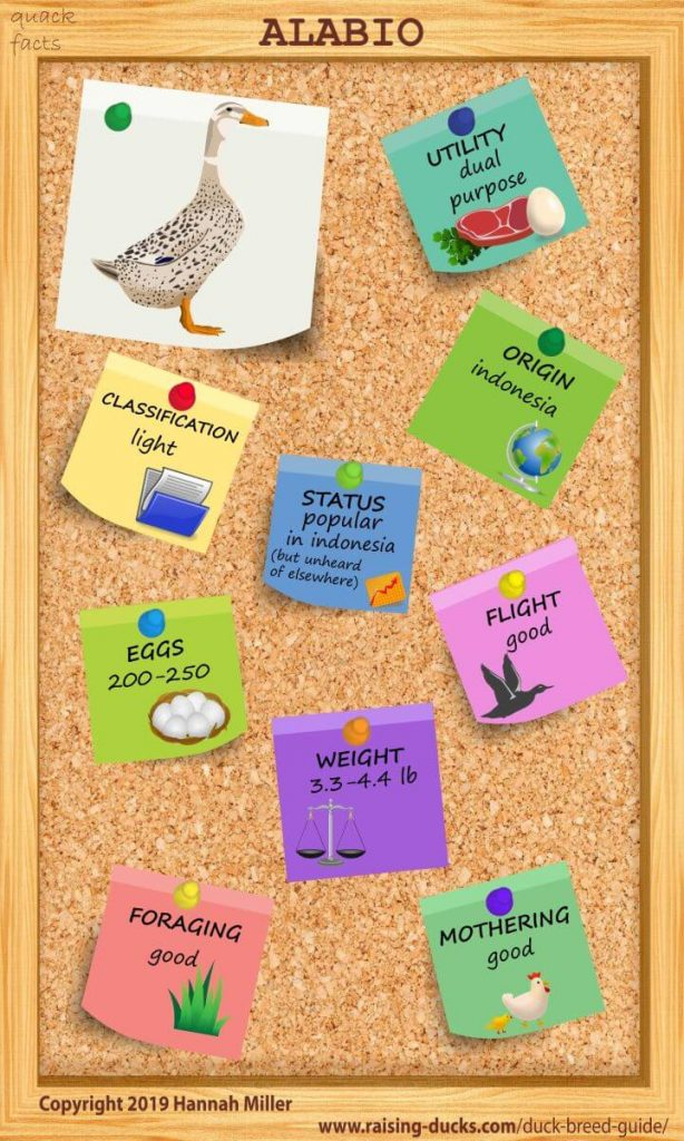 alabio duck breed infographic