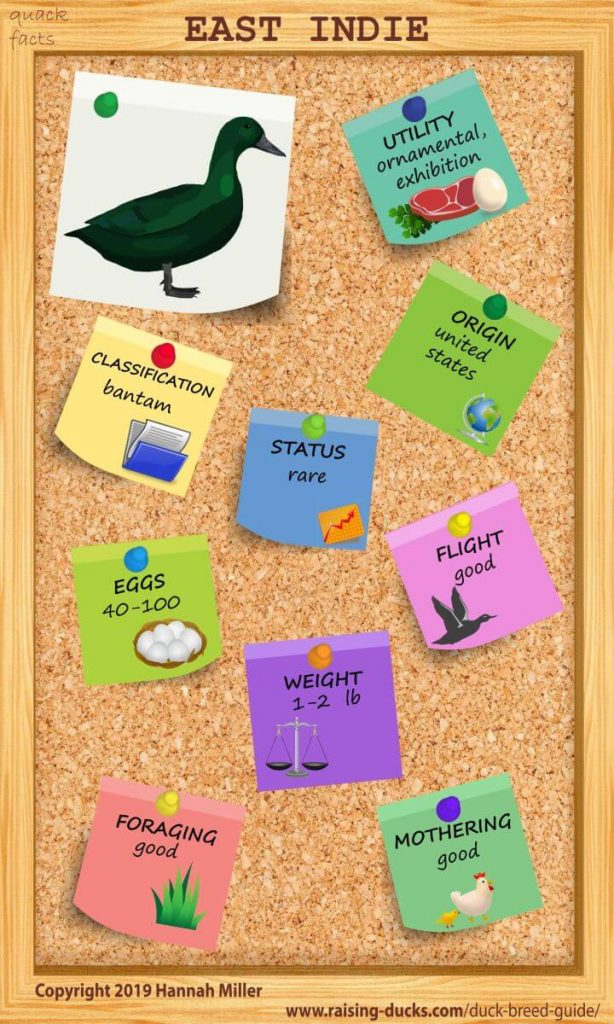 east indies duck breed infographic