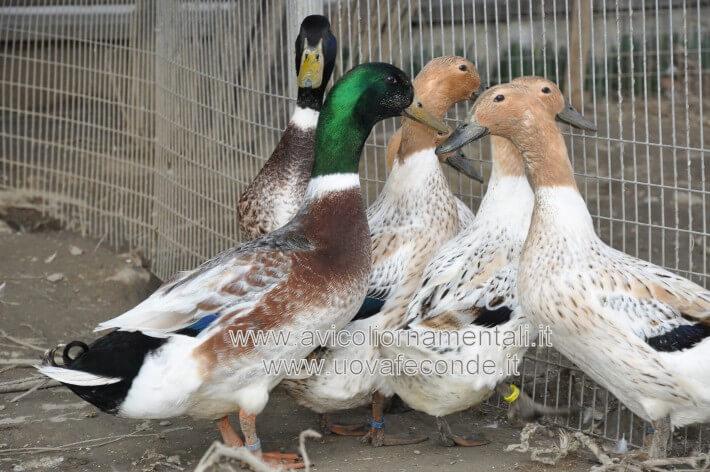 abacot ranger ducks rare breed
