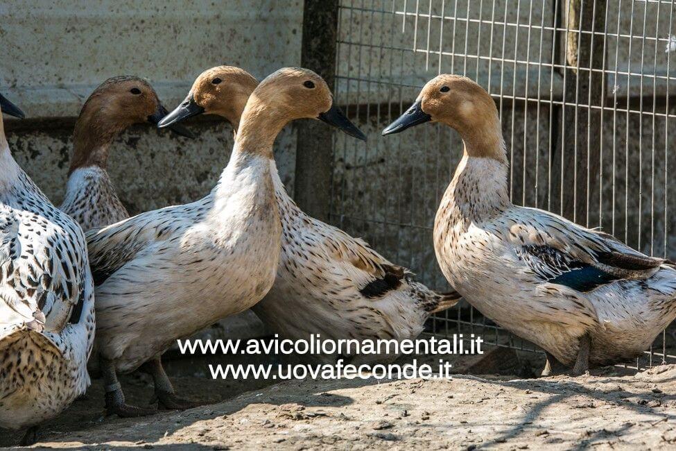 streicher duck abacot ranger