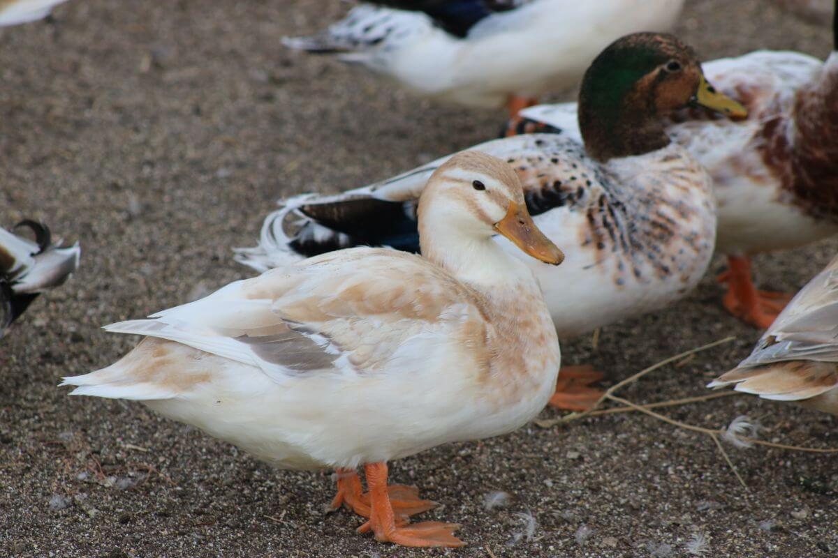 Australian Spotted Duck