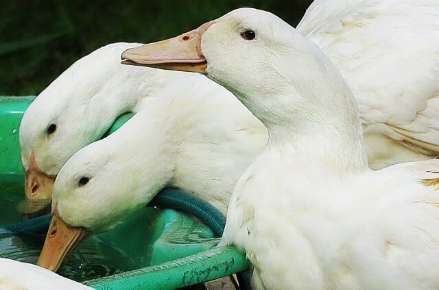 aylesbury duck breed