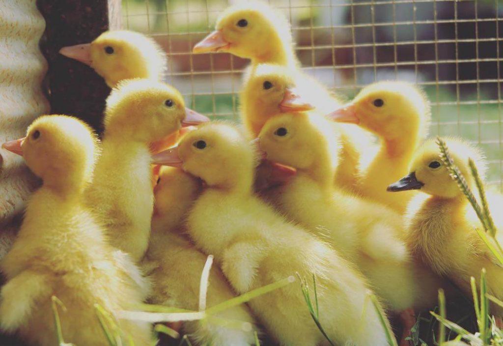 aylesbury ducklings