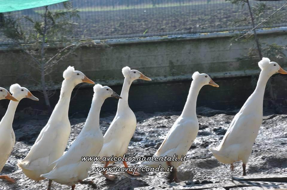 bali duck flock