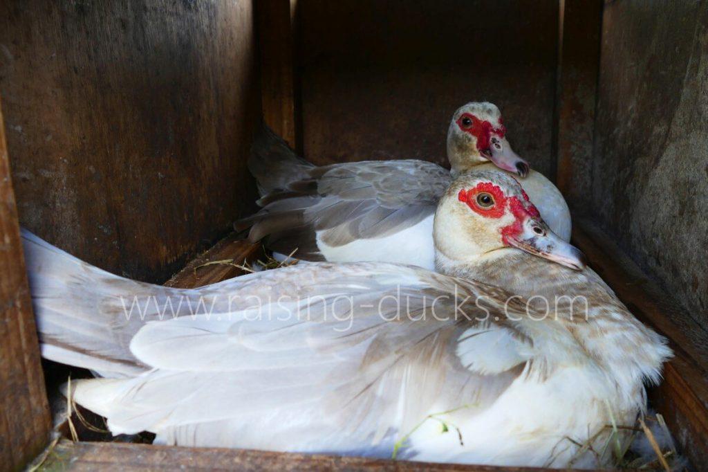 broody muscovy ducks