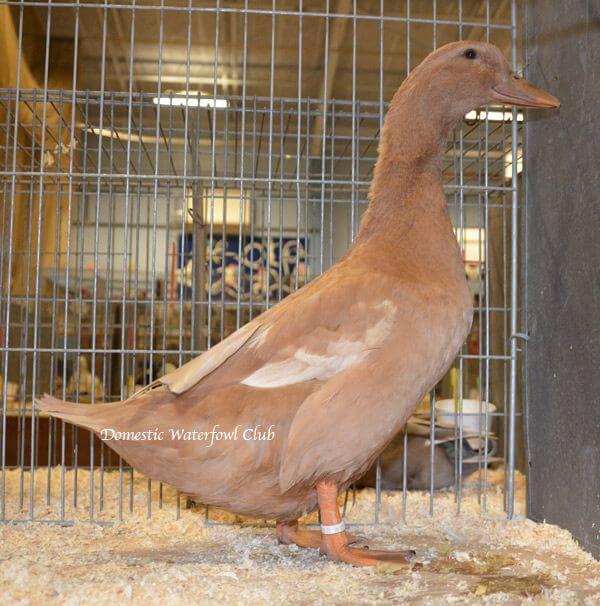 female buff orpington duck exhibition
