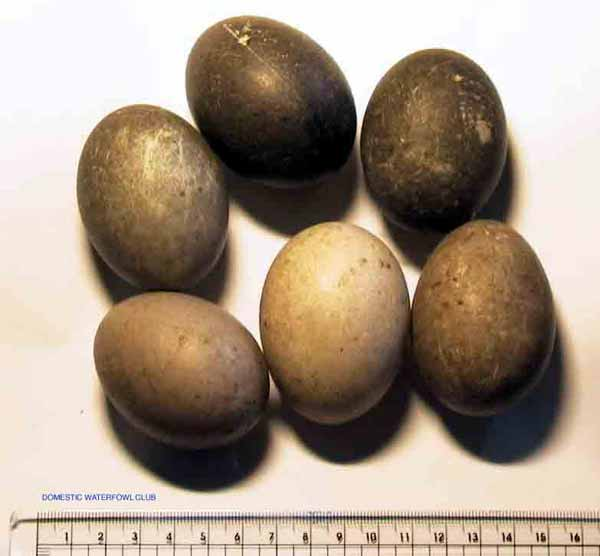 cayuga duck eggs