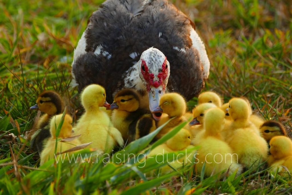 broody muscovy duck and ducklings