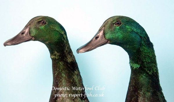 east indies ducks heads closeup