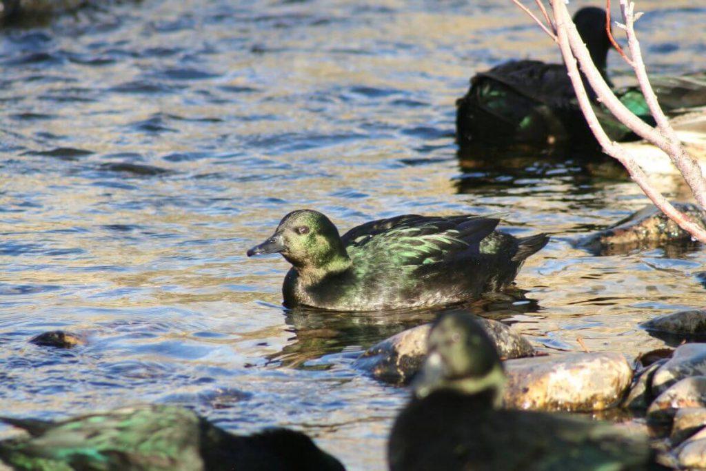 east indies duck swimming creek