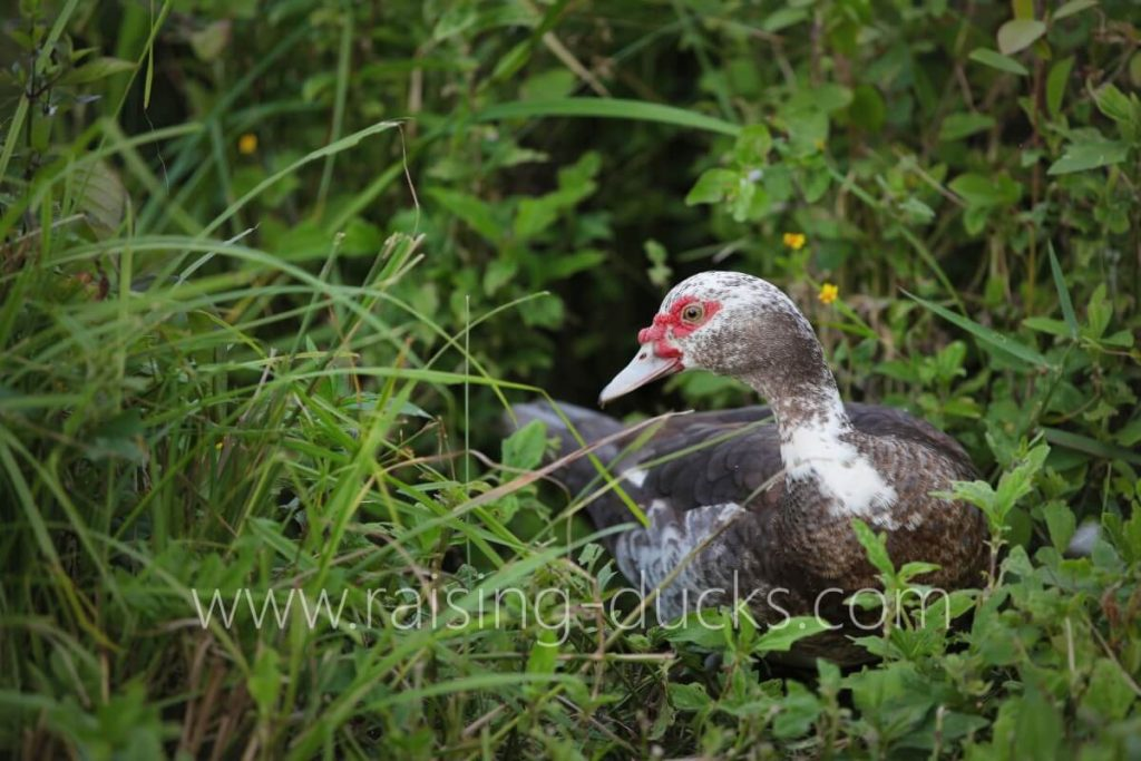 muscovy duck foraging