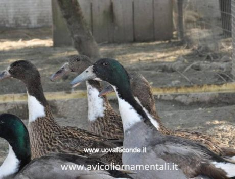 dutch hookbill ducks