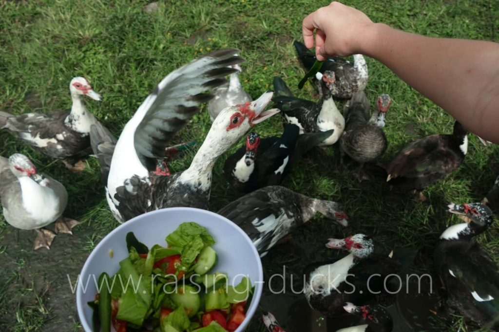 muscovy duck jumping