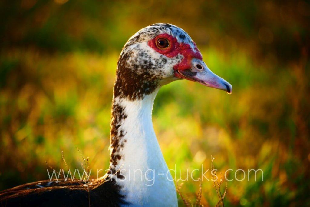 female muscovy duck head closeup