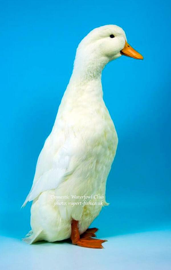 german pekin duck exhibition