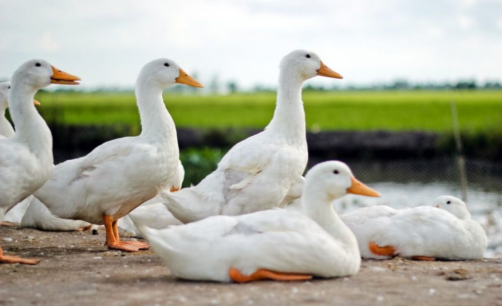 young meat pekin ducks