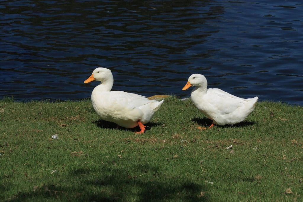 white american pekin ducks