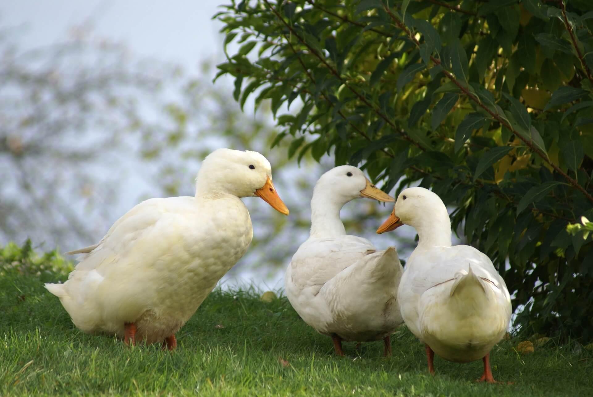 Pekin Duck: Complete Breed Guide