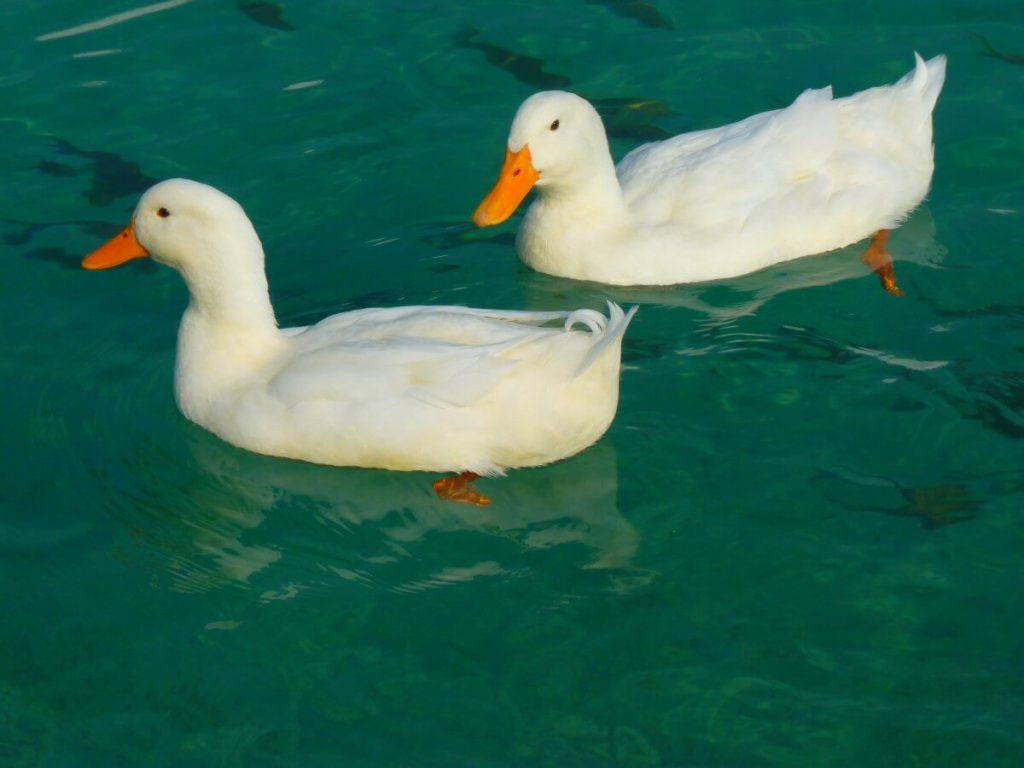 pekin duck lifespan