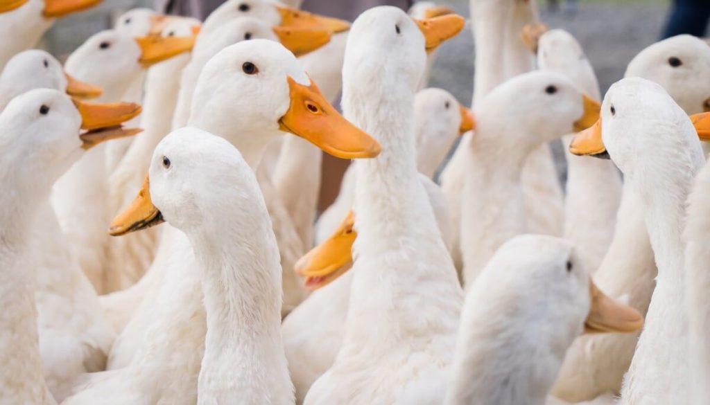 meat pekin ducks